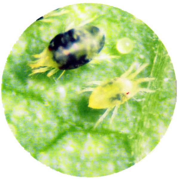 biologische insektenbek mpfung wornik gartenbau kg. Black Bedroom Furniture Sets. Home Design Ideas